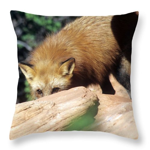 Red Fox Throw Pillow featuring the photograph Cautious Red Fox by Larry Allan