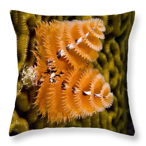Mp Throw Pillow featuring the photograph Christmas Tree Worm Spirobranchus by Pete Oxford