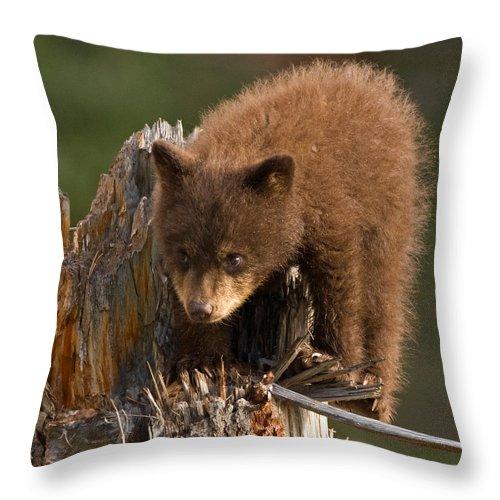 Black Bear Throw Pillow featuring the photograph Cinnabun by Max Waugh