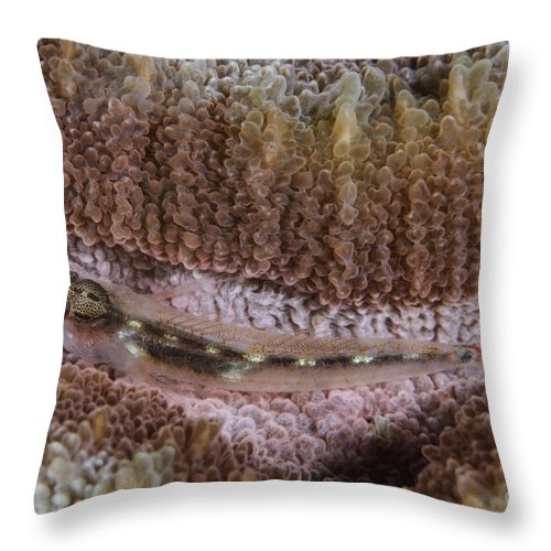 Osteichthyes Throw Pillow featuring the photograph Close-up Of A Goby, Indonesia by Todd Winner