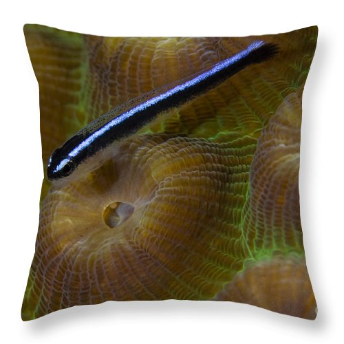 Goby Throw Pillow featuring the photograph Close-up Of A Goby On Coral, Belize by Todd Winner