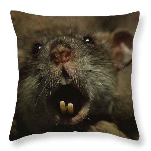 Day Throw Pillow featuring the photograph Close Up Of A Rats Fast-growing Teeth by James L. Stanfield