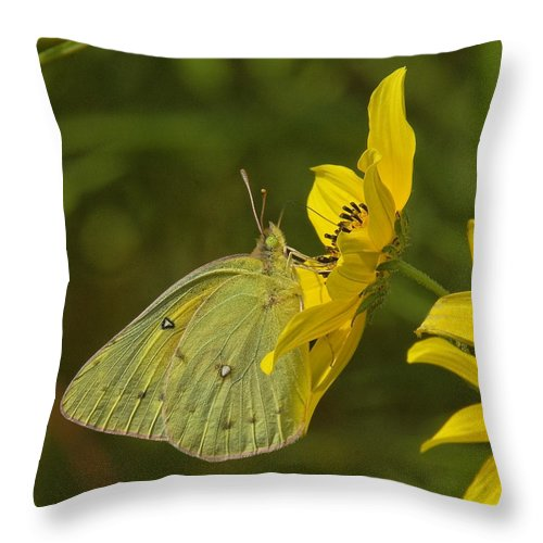 Nature Throw Pillow featuring the photograph Clouded Sulphur Butterfly Din099 by Gerry Gantt
