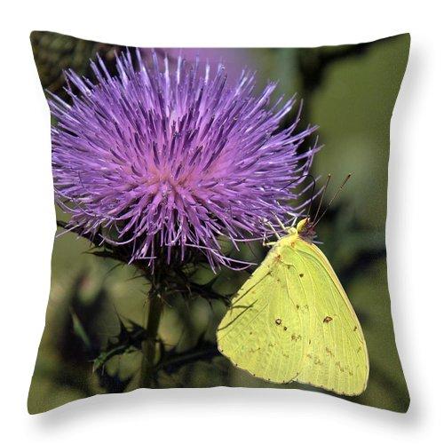 Marsh Throw Pillow featuring the photograph Cloudless Sulphur Butterfly Din159 by Gerry Gantt