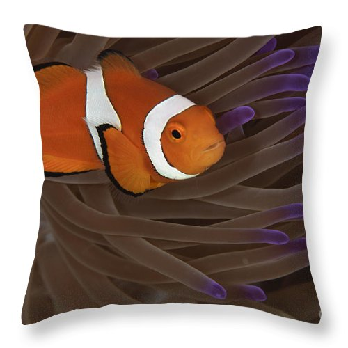Osteichthyes Throw Pillow featuring the photograph Clownfish In Purple Tip Anemone by Todd Winner