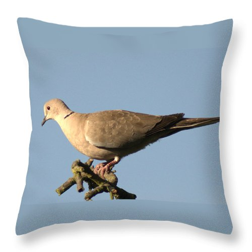 Collared Dove Throw Pillow featuring the photograph Collared Dove by Chris Day