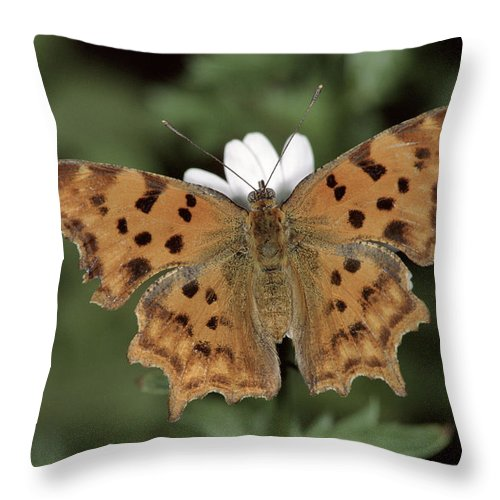 Npl Throw Pillow featuring the photograph Comma Polygonia C-album, Germany by Hans Christoph Kappel