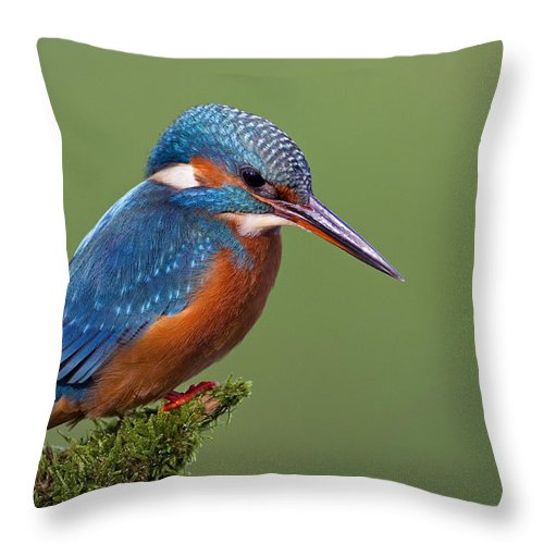 Mp Throw Pillow featuring the photograph Common Kingfisher Alcedo Atthis by Ingo Arndt