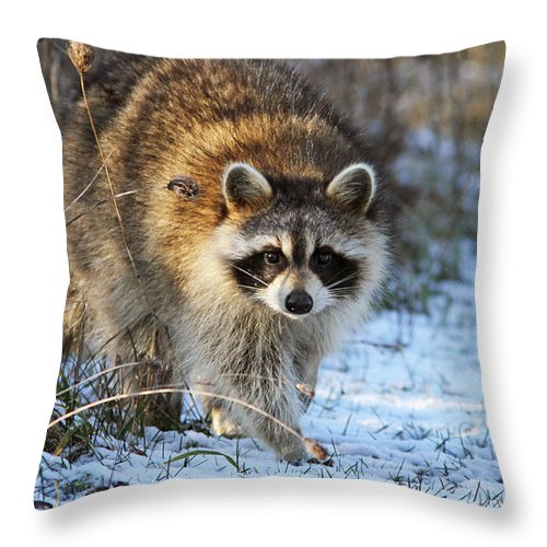 Banditos Throw Pillow featuring the photograph Common Raccoon by Mircea Costina Photography