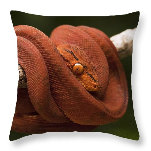 Mp Throw Pillow featuring the photograph Common Tree Boa Corallus Hortulanus by Pete Oxford