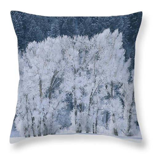 Natural Forces And Phenomena Throw Pillow featuring the photograph Cottonwood Trees With Frost by Skip Brown