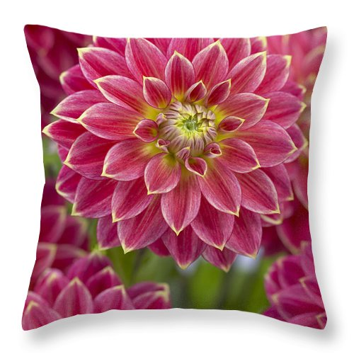 Vp Throw Pillow featuring the photograph Dahlia Dahlia Sp Optimist Variety by VisionsPictures