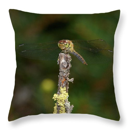 Jouko Lehto Throw Pillow featuring the photograph Darter 5 by Jouko Lehto