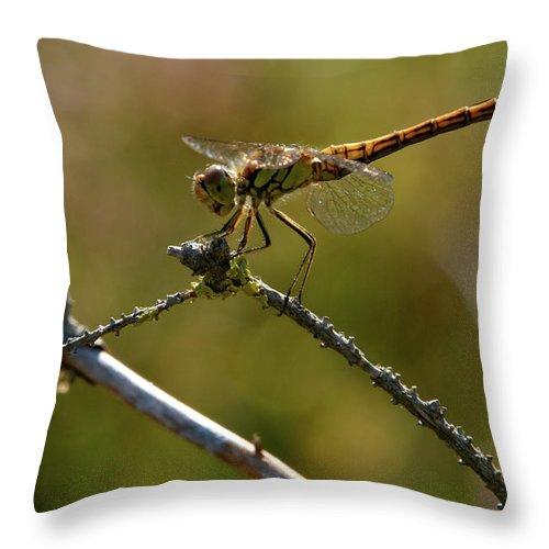 Jouko Lehto Throw Pillow featuring the photograph Darter 9 by Jouko Lehto