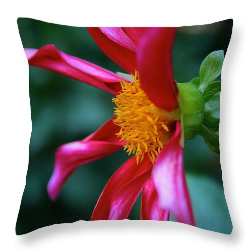 Outdoors Throw Pillow featuring the photograph Dashing Dahlia by Susan Herber