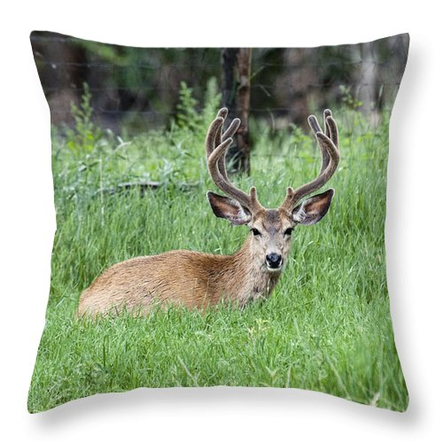 Throw Pillow featuring the photograph Deer At Rest by David Arment