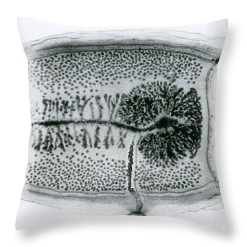 Light Micrograph Throw Pillow featuring the photograph Dog Tapeworm Taenia Pisiformis by Eric V. Grave