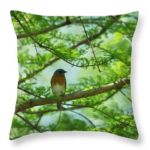 Eastern Bluebird Throw Pillow featuring the photograph Eastern Bluebird In Bald Cypress Tree by Rebecca Sherman