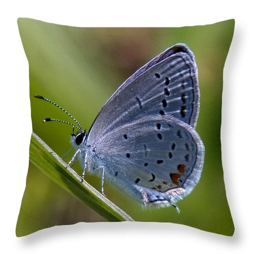 Spring Throw Pillow featuring the photograph Eastern Tailed-blue Butterfly Din045 by Gerry Gantt