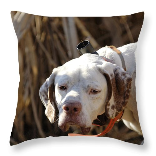 Portrait Throw Pillow featuring the photograph English Pointer On Point - D004001 by Daniel Dempster