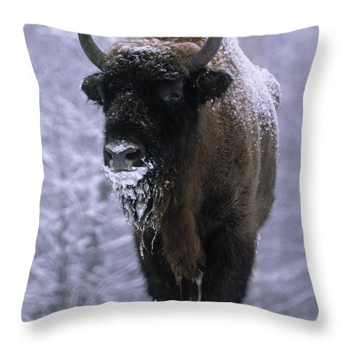 Fn Throw Pillow featuring the photograph European Bison Bison Bonasus In Snow by Rinie Van Meurs