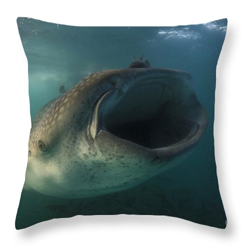 La Paz Throw Pillow featuring the photograph Feeding Whale Shark, La Paz, Mexico by Todd Winner