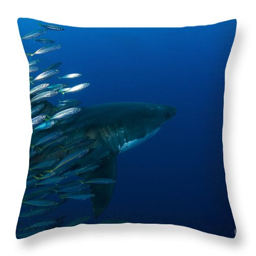 Carcharodon Carcharias Throw Pillow featuring the photograph Female Great White Shark With A School by Todd Winner