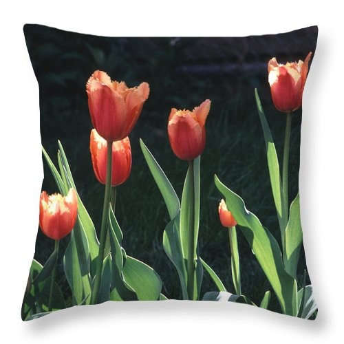 Spring Throw Pillow featuring the photograph Flared Red Yellow Tulips by Tom Wurl