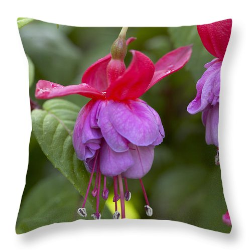 Vp Throw Pillow featuring the photograph Fuchsia Fuchsia Sp Red And Blue Variety by VisionsPictures