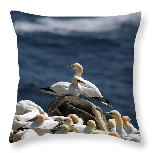 Gannet Throw Pillow featuring the photograph Gannets Gannets Everywhere by Gord Patterson