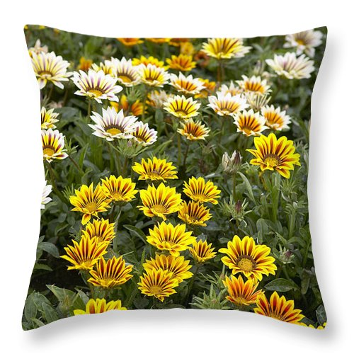 Vp Throw Pillow featuring the photograph Gazania Gazania Rigens Flowers by VisionsPictures
