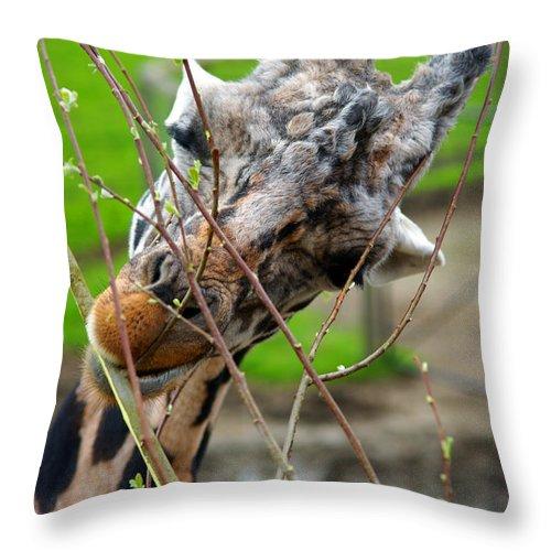 Giraffes Throw Pillow featuring the photograph Giraffe Eating by Randy Harris