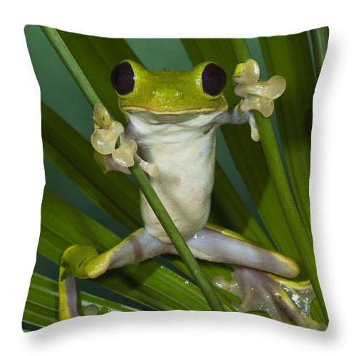 Mp Throw Pillow featuring the photograph Gliding Leaf Frog Agalychnis Spurrelli by Pete Oxford