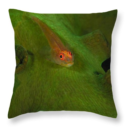Goby Throw Pillow featuring the photograph Goby On A Coral, Australia by Todd Winner