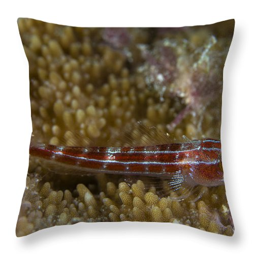 Goby Throw Pillow featuring the photograph Goby On Coral, Australia by Todd Winner