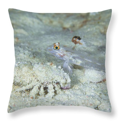 Arthropod Throw Pillow featuring the photograph Goby With A Hermit Crab, Australia by Todd Winner