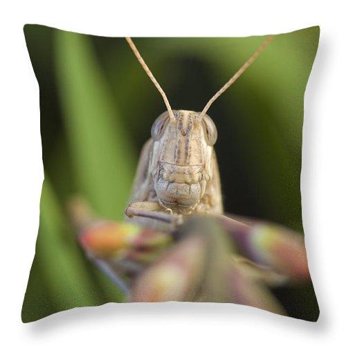 Gray Bird Grasshoppers Throw Pillow featuring the photograph Gray Bird Grasshopper Schistocerca by Rich Reid