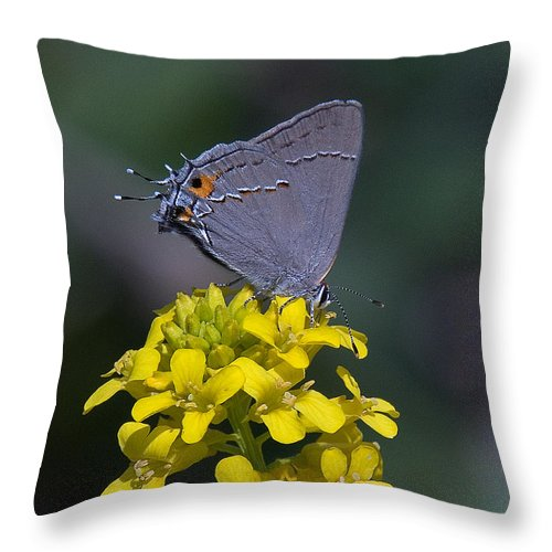 Nature Throw Pillow featuring the photograph Gray Hairstreak Butterfly Din044 by Gerry Gantt