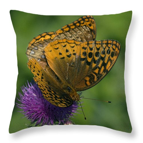 Nature Throw Pillow featuring the photograph Great Spangled Fritillaries On Thistle Din108 by Gerry Gantt