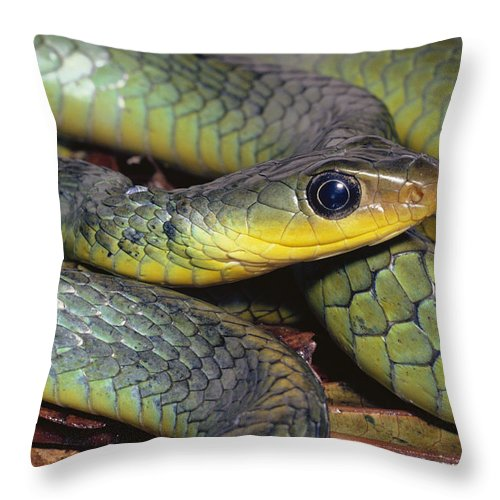 Mp Throw Pillow featuring the photograph Green Racer Chironius Exoletus by Michael & Patricia Fogden