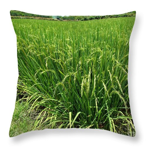 Stalks Throw Pillow featuring the photograph Green Rice Field In Taiwan by Yali Shi