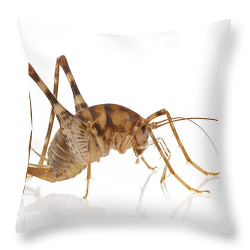 00478807 Throw Pillow featuring the photograph Greenhouse Camel Cricket by Piotr Naskrecki