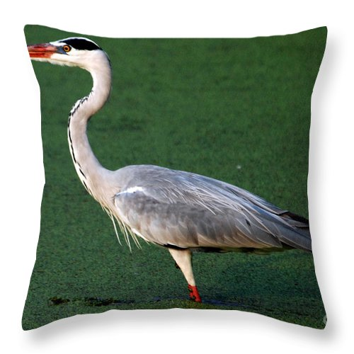 Grey Heron Throw Pillow featuring the photograph Grey Heron by Pravine Chester
