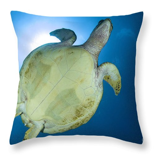 Sea Life Throw Pillow featuring the photograph Hawksbill Sea Turtle Belly, Australia by Todd Winner
