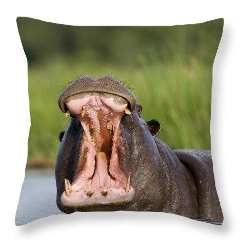 Fn Throw Pillow featuring the photograph Hippopotamus Hippopotamus Amphibius by Vincent Grafhorst