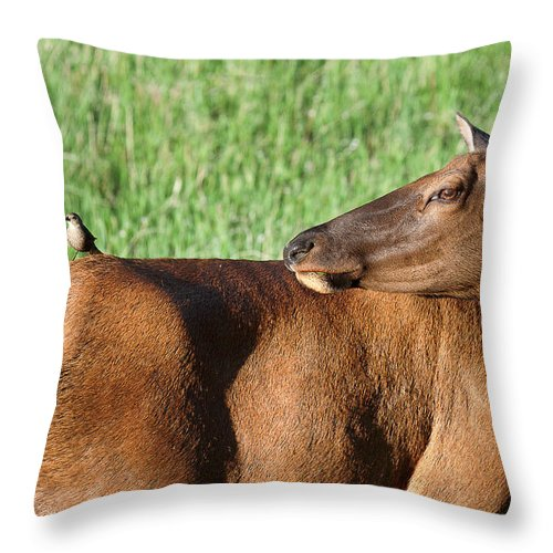 Elk Throw Pillow featuring the photograph Hitching A Ride by Jim Garrison