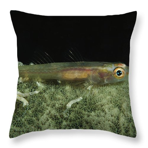 Animals In The Wild Throw Pillow featuring the photograph Hovering Goby On A Green Sponge, Fiji by Todd Winner