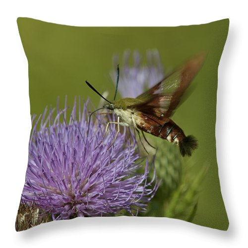 Nature Throw Pillow featuring the photograph Hummingbird Or Clearwing Moth Din178 by Gerry Gantt