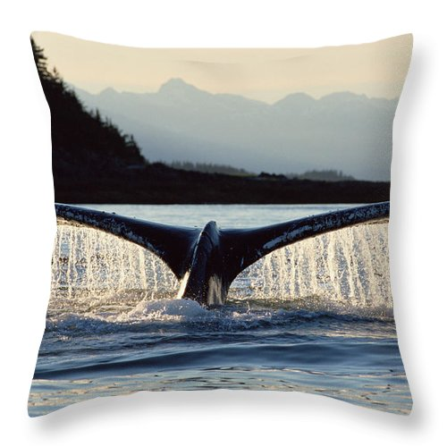 Mp Throw Pillow featuring the photograph Humpback Whale Megaptera Novaeangliae by Matthias Breiter