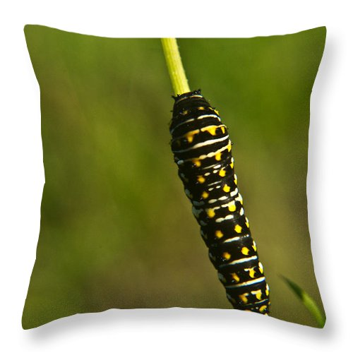 Hymenoptera Throw Pillow featuring the photograph Hymenoptera Larva 2 by Douglas Barnett